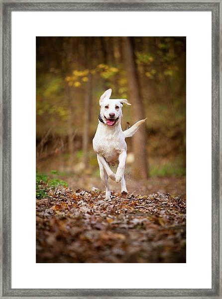 Labrador Frolics In Woodlands Framed Print
