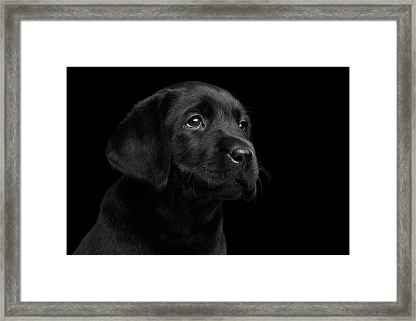 Labrador Retriever Puppy Isolated On Black Background Framed Print