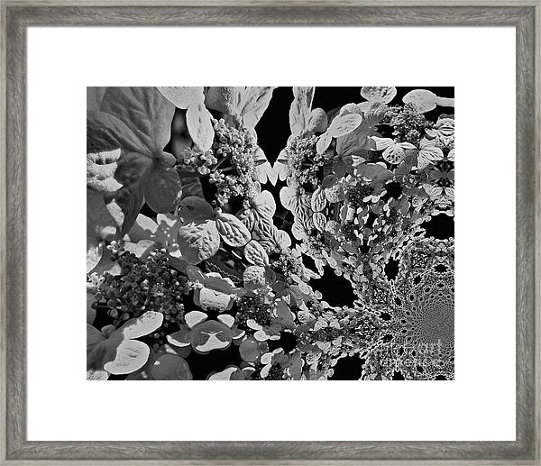 Lace Cap Hydrangea Flower Abstract Framed Print