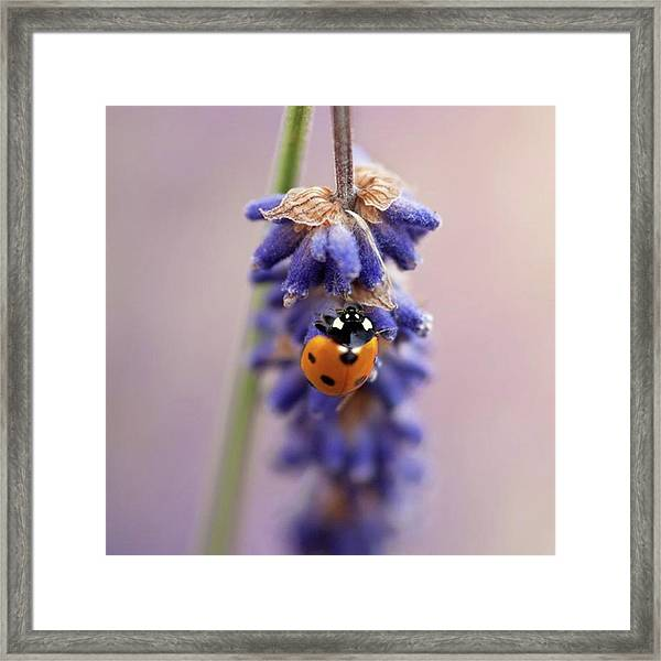 Ladybird On Norfolk Lavender  #norfolk Framed Print