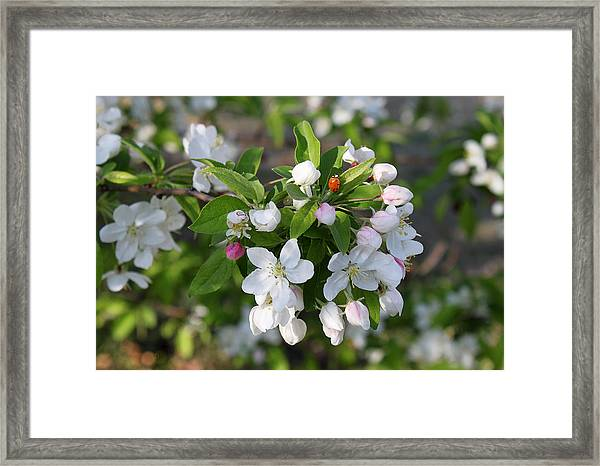 Ladybug On Cherry Blossoms Framed Print
