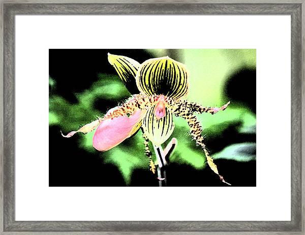 Lady's Slipper Orchid Framed Print by Nanette Hert