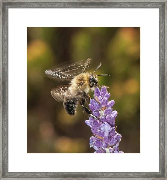 Landing On Lavender Framed Print