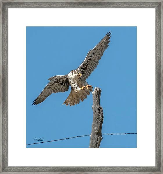 Landing Prairie Falcon Framed Print