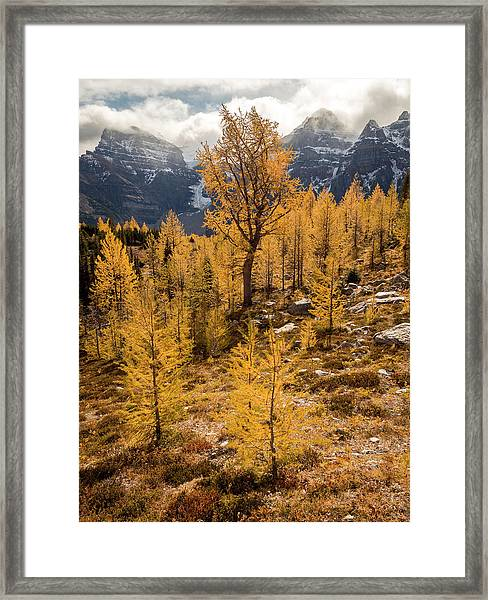 Larch Family Framed Print
