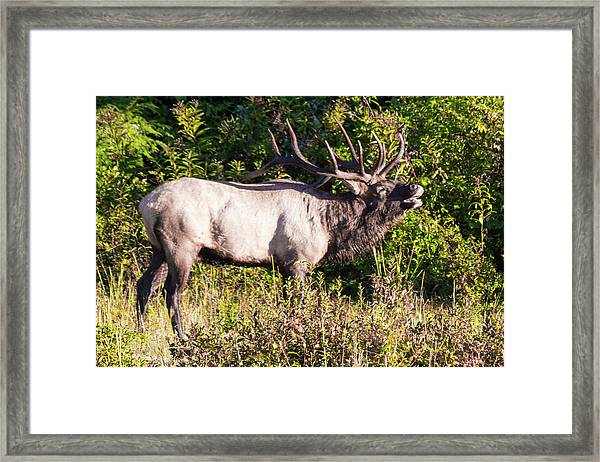 Framed Print featuring the photograph Large Bull Elk Bugling by D K Wall