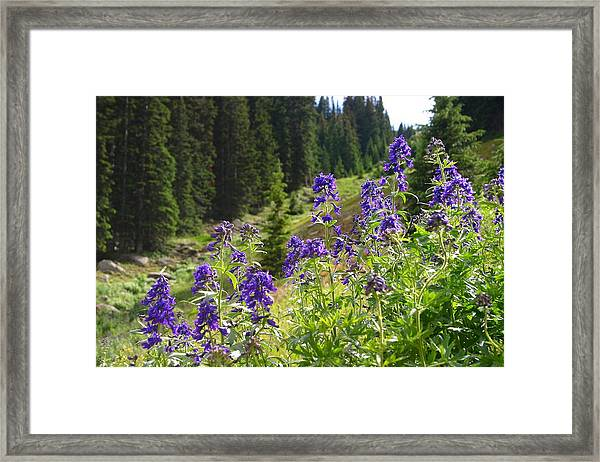 Larkspur Along Trail Ridge Road Framed Print