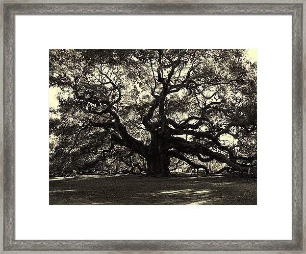 Last Angel Oak 72 Framed Print