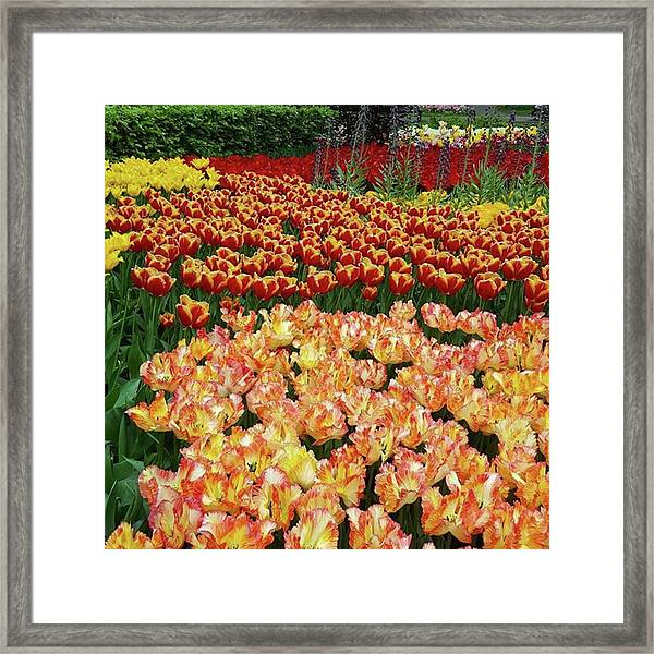 Last One Of My Week Of #tulips. If You Framed Print by Dante Harker