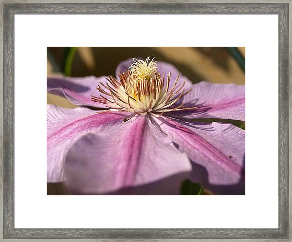 Late Season Bloom - 1 - Clematis Framed Print