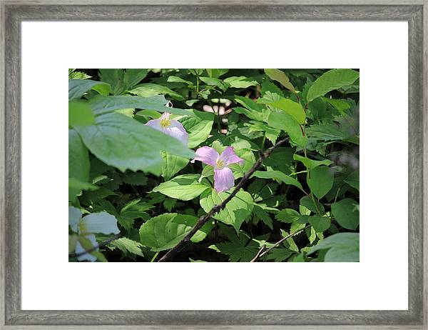 Late Season Trillium Framed Print