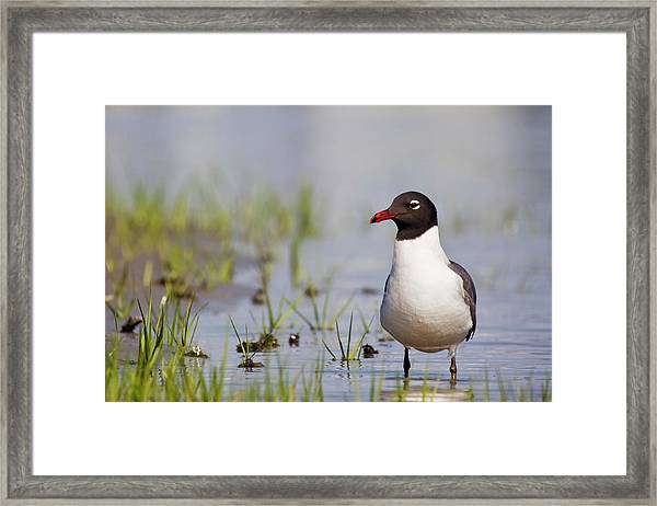 Laughing Gull On Taylors Creek Framed Print