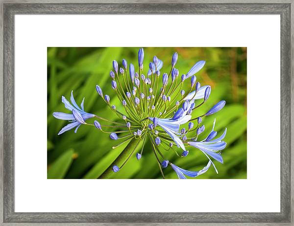 Lavendar Buds Framed Print