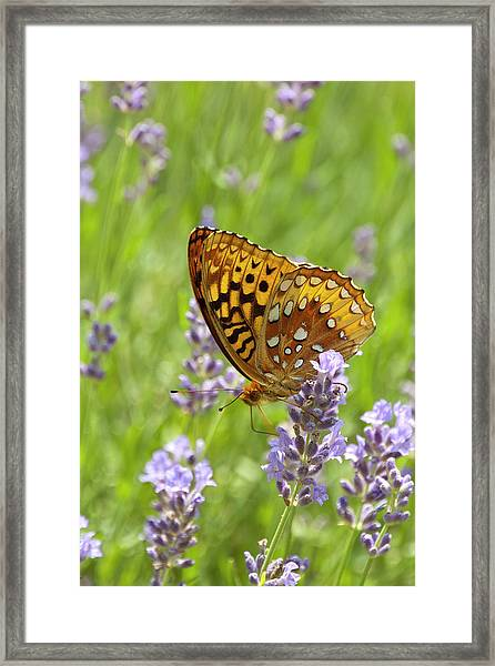 Lavender And Butterfly 2 Framed Print