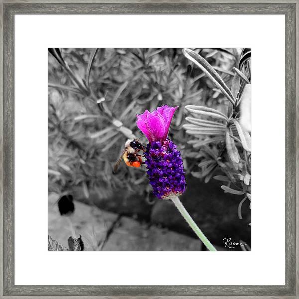 Lavender Harvest Framed Print