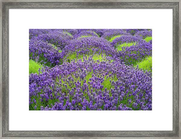 Lavender In Blooming Framed Print