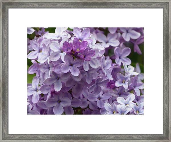 Lavender Lilacs Framed Print