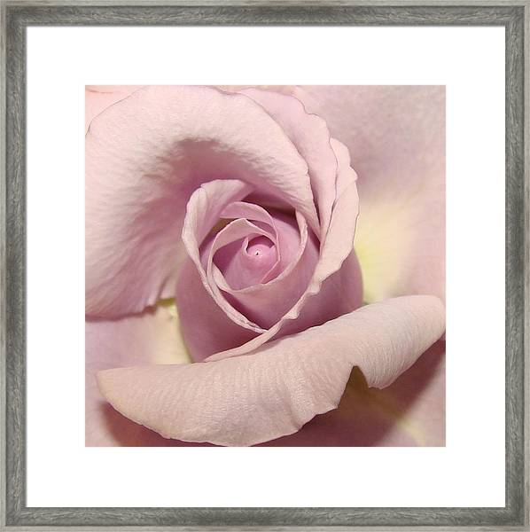 Lavender Mini Rose Framed Print by Liz Vernand