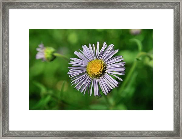 Lavender Serenity Framed Print