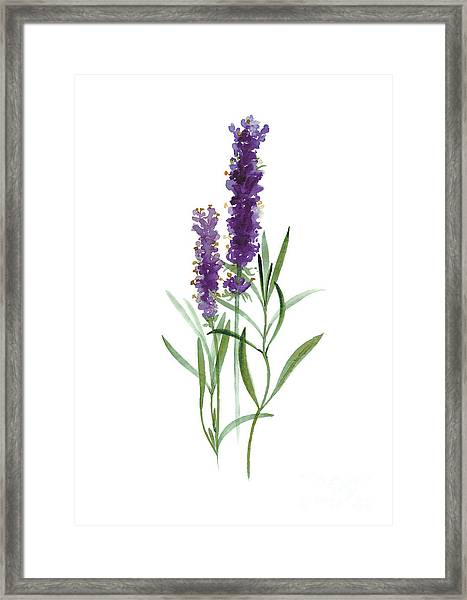 Lavender Watercolor Posters  Framed Print