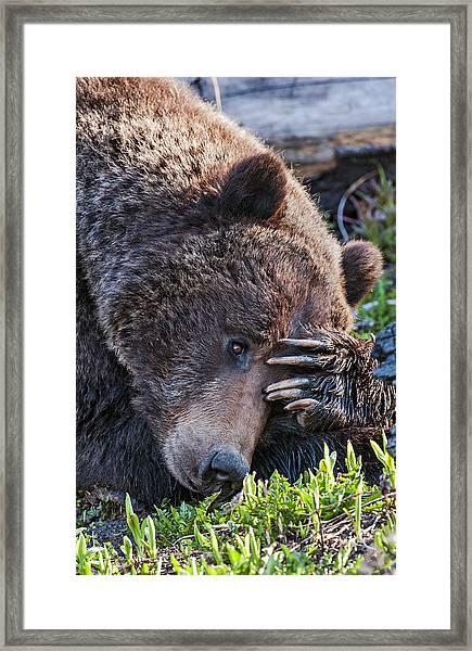 Lazy Bear Framed Print