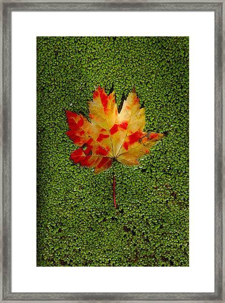 Leaf Floating On Duckweed Framed Print