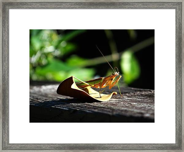 Leafy Praying Mantis Framed Print
