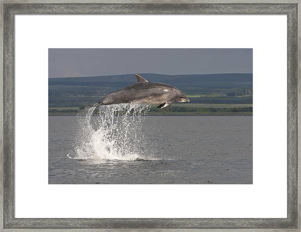 Leaping Bottlenose Dolphin  - Scotland #39 Framed Print
