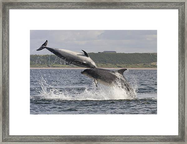Leaping Bottlenose Dolphins - Scotland  #38 Framed Print