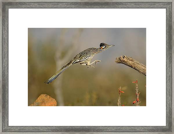 Leaping Roadrunner Framed Print by Scott  Linstead