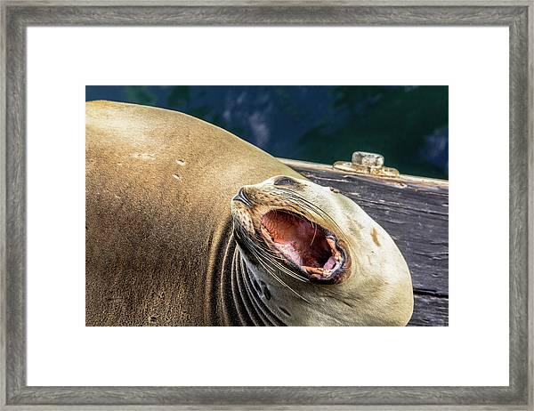 California Sea Lion Yawn Framed Print
