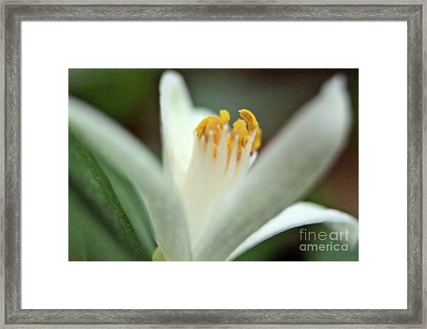 Lemon Flower 2018 Framed Print