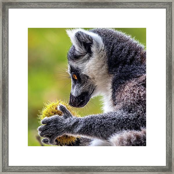 Framed Print featuring the photograph Lemur And Sweet Chestnut by Nick Bywater