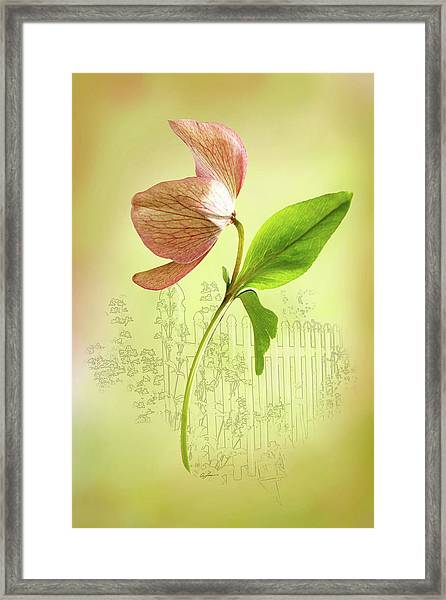 Lenton Rose 1 Framed Print