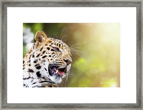 Leopard In Sunlight Framed Print