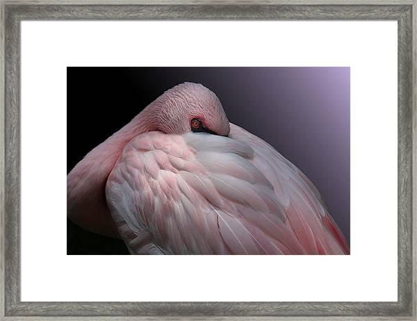 Lesser Flamingo Resting Framed Print