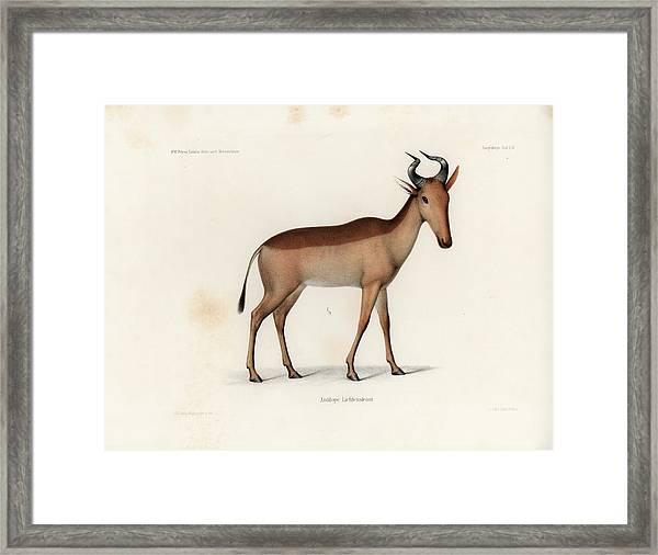 Framed Print featuring the drawing Lichtenstein's Hartebeest, Alcelaphus Lichtensteinii by J D L Franz Wagner