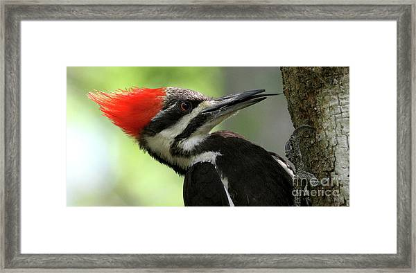 Lick It Up - Pileated Woodpecker Framed Print