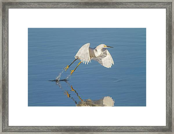 Lift Off- Snowy Egret Framed Print