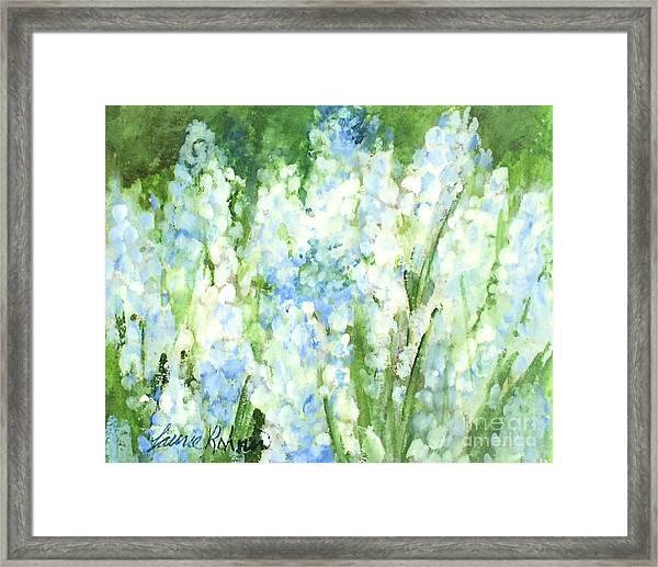 Light Blue Grape Hyacinth. Framed Print
