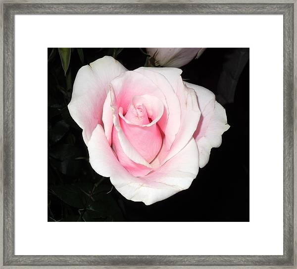 Light Pink Rose Framed Print