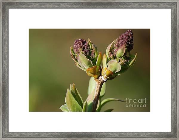 Lilac Bud Framed Print