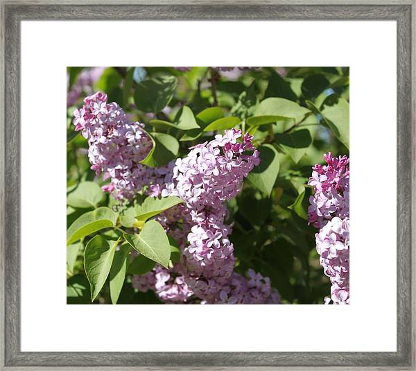 Framed Print featuring the photograph Lilacs 5544 by Antonio Romero