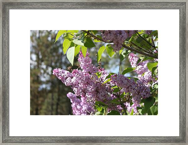 Framed Print featuring the photograph Lilacs 5545 by Antonio Romero