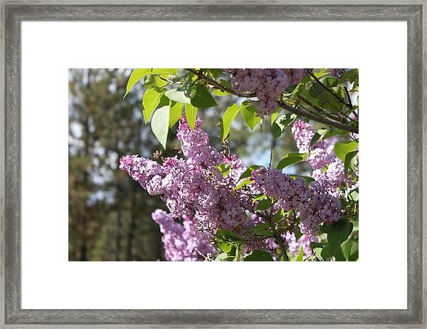Lilacs 5545 Framed Print