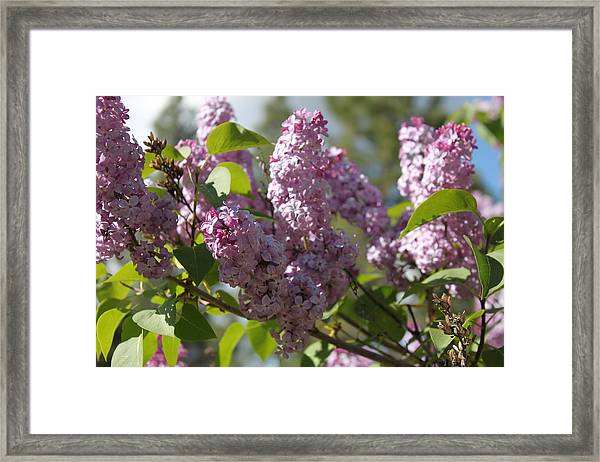 Framed Print featuring the photograph Lilacs 5548 by Antonio Romero