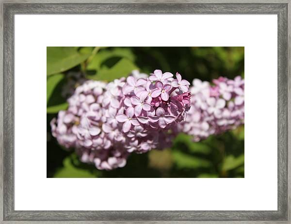 Lilacs 5549 Framed Print
