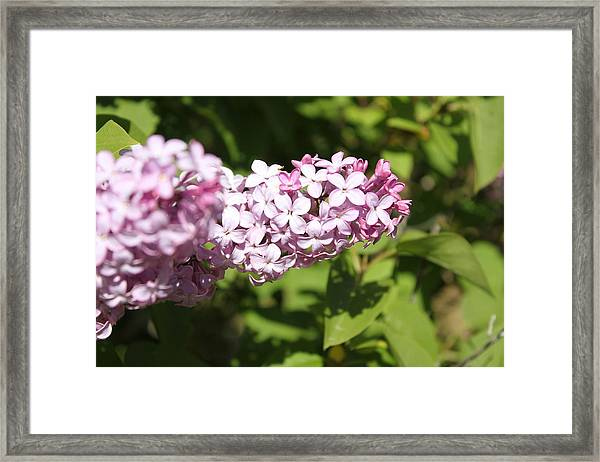 Framed Print featuring the photograph Lilacs 5550 by Antonio Romero