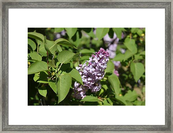 Framed Print featuring the photograph Lilacs 5551 by Antonio Romero