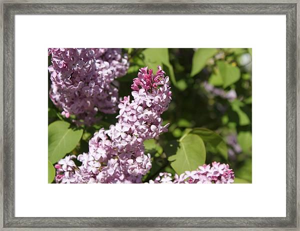 Lilacs 5552 Framed Print